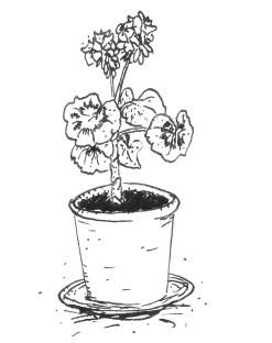 Lövstapelargonen-tecknad bild - Kopia